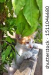 Stock photo cute baby kitten sitting in a tree pot cute kitten brown white hairs color indonesian domestic 1511046680
