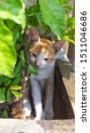 Stock photo cute baby kitten sitting in a tree pot cute kitten brown white hairs color indonesian domestic 1511046686