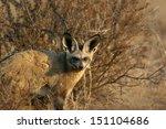 bat eared fox staring | Shutterstock . vector #151104686