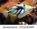 Lagoon Triggerfish ...
