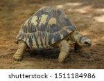 Stock photo radiated tortoise astrochelys radiata wildlife animal 1511184986