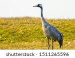 Beautiful Graceful Crane In The ...