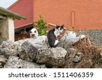Stock photo siamese and black and white kitten outdoors 1511406359