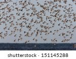knot  calidris canutus  roost... | Shutterstock . vector #151145288