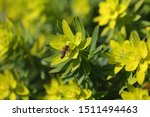 Bee Flower Polinate Honey Buzz