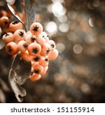 Orange Firethorn  Pyracantha ...