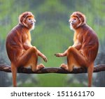 Two Langurs Have A Fun. The...