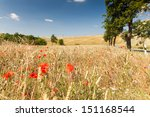 Wild Flowers In A Cornfield