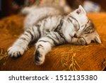 Stock photo little beautiful tabby kitten gray scottish fold kitten photography newborn kitten kid animals 1512135380