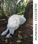 Small photo of An arctic wolf sleeping at the NYCC conservation