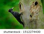 Black Woodpecker In The Green...