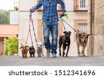 Stock photo professional dog walker or pet sitter walking a pack of cute different breed and rescue dogs on 1512341696