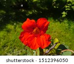 Bright Red Big Blossom Of A...
