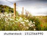 Wild Flower Daisies Along A...