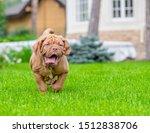 Dogue De Bordeaux Puppy Runnin...