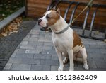 The American Pit Bull Terrier...