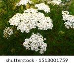 Common Yarrow White Flowers...