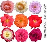 the rose blooms  | Shutterstock . vector #151301909