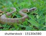 Grass Snake  Natrix Natrix ...