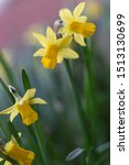 Close Up Of Miniature Daffodil...