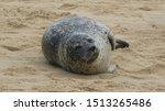 Grey Seal Sleeping On The Beach