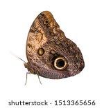 Caligo Rurilochus  Butterfly...