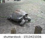 Stock photo aldabra tortoise full body walking 1513421036