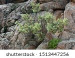 Closeup of a tree growing out of exposed bedrock in Prescott, Arizona