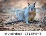 American Grey Squirrel At...