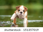 Stock photo english bulldog puppy in the water 151357019