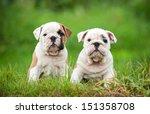 Two English Bulldog Puppies...