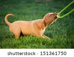 Stock photo puppy dog plays with the leash in the grass 151361750