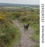 Small photo of Black Schnoodle Dog Walking Down a Track Surrounded by Wild Yellow Flowering Gorse (Ulex europaeus) on the Moorland of Godolphin Hill in Rural Cornwall, England, UK