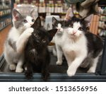 Stock photo three kittens one background cat pet store cage black white grey sitting cute portrait kitten cats 1513656956
