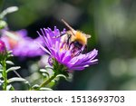 Common Carder Bee Collecting...