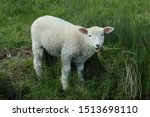 Young lamb grazing on marshland.