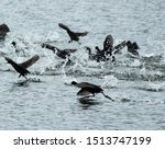 Red Knobbed Coots Fleeing On...