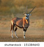 gemsbok in the desert   oryx... | Shutterstock . vector #151384643