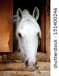 Head White Racehorse Looks Out...