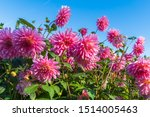 A Bed Of Wonderful Pink Dahlia...