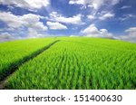 Lush Green Rice Field With A...
