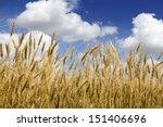 This Golden Kansas Wheat...