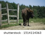 Small photo of placid lonesome bison loiter front of the fold