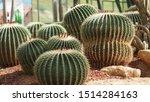 Cactus   Queen Sirikit Botanic...