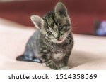 Stock photo small gray striped kitten is looking into frame kitten is month old newborn kitten without mom 1514358569