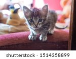 Stock photo small gray striped kitten is looking into frame kitten is month old newborn kitten without mom 1514358899