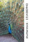 Indian Green   Blue Peafowl ...