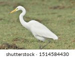 The Great White Egret Shot On...