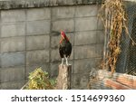 One Young Rooster Crowing On A...