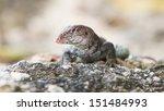 wild water monitor  varanus...   Shutterstock . vector #151484993